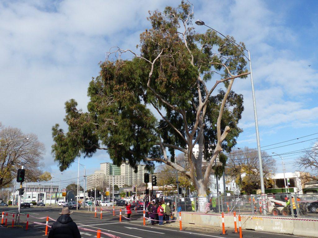 Update: Flemington Road gum tree still standing, but for how long?
