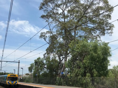 National Trust Opposes Removal of Trees at Newmarket Station (Update: Trees Saved!)
